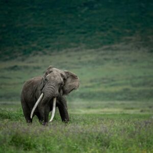 Ngorongoro Tusker - african wildlife fine art photographers (Ngorongoro Crater, Tanzania)