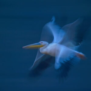 Pelican in Motion - african wildlife photography for sale