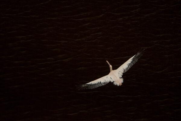 african wildlife photography art - Pelican Ripples