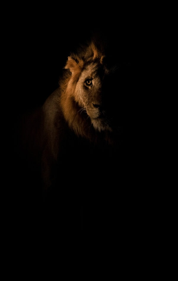 african wildlife photography art - Night King
