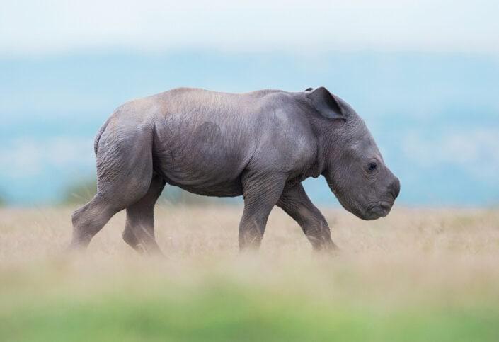 Walk On - african wildlife fine art photography