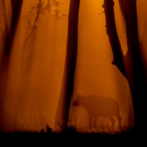 Buffalo Forest - moody african wildlife photography
