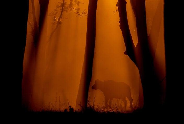 Buffalo Forest - africa wildlife fine art photographers