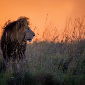 Mara King - african wildlife photography print.