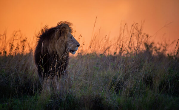 Mara King - african wildlife photography print.