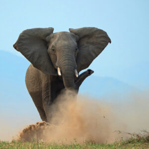 Elephant Charge - african wildlife photography art (Mana Pools, Zimbabwe)