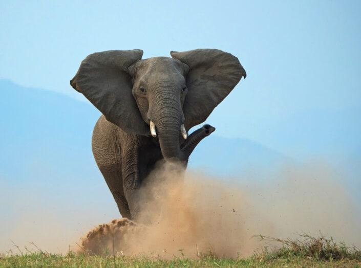 Elephant Charge - african wildlife photography art (Mana Pools, Zimbabwe)
