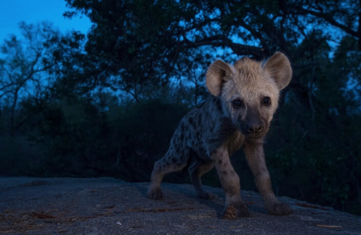 Hyena Cub - african wildlife fine art photography (Mala Mala, South Africa)