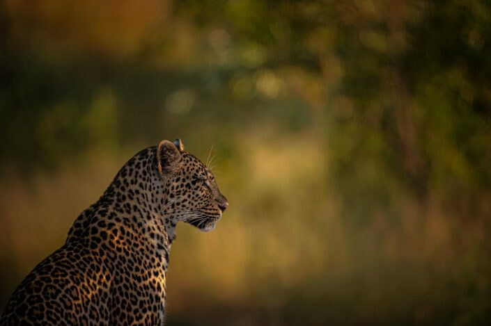 Golden Leopard - african wildlife photography for sale (Mala Mala, South Africa)