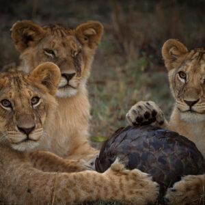 Kalahari Aardvark - African wildlife fine art photographers. Masai Mara Kenya.