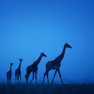 GDT Signature Print - Twilight Giraffes
