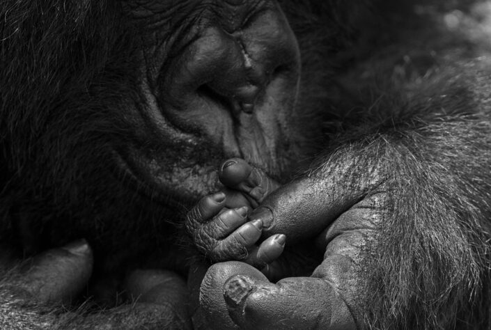 'Hand in Hand' is a limited edition wildlife print - A gorilla mother gently caresses the tiny fingers of her young baby. Photographed on an extinct volcano in Rwanda.