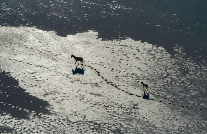 'Zebra and Foal' is a limited edition wildlife print - A mother zebra leads her foal across the salt pans of Botswana to reach the grazing grounds beyond. Photographed from a helicopter.