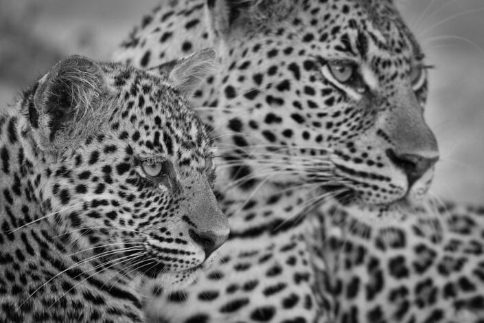 Spitting Image is a limited edition wildlife print - A leopard cub looks on with its ever watchful mother in the background. She is a spitting image of her mother. Photographed in South Africa's Mala Mala Game Reserve.