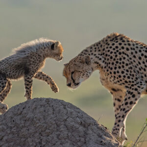 'A Tender Moment' is a limited edition wildlife print for sale - Cheetahs are excellent mothers, hunting and providing for their cubs every need and doing so all alone. Here a cheetah mother dips her head and greets her cub in a tender moment on the great plains of Kenya's Masai Mara.
