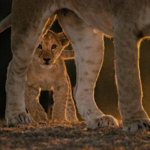 GDT master print - Mara Lion Cub