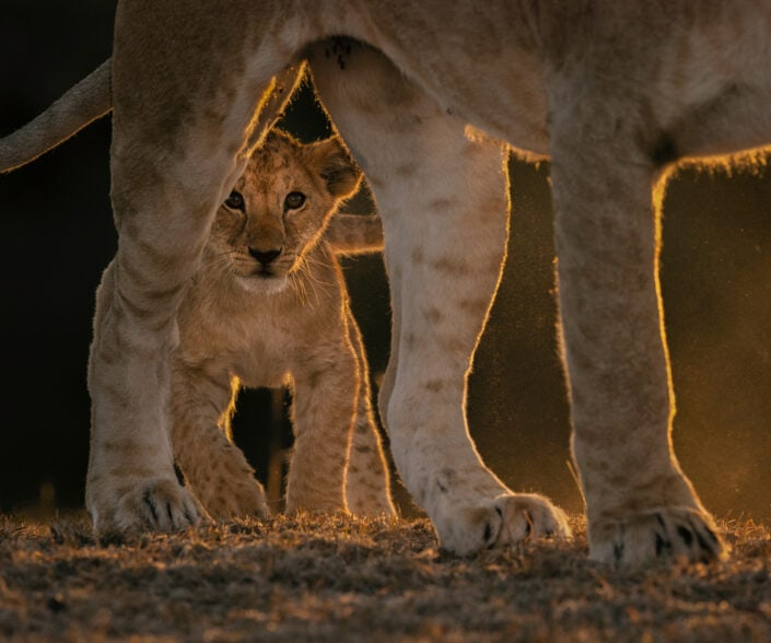 'Mara Lion Cub' is wildlife art - This little lion cub was intrigued by our vehicle and still shy, it stood behind its mother as I focused through the gap between her hind legs. Photographed in Kenya's Masai Mara.