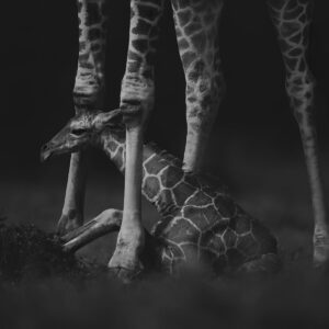 'A Mother's Protection' like original African wildlife paintings for sale is the only one in the world - This young giraffe had just been born. Its mother stands above it while it prepares to try and stand for the first time (Laikipia, Kenya).