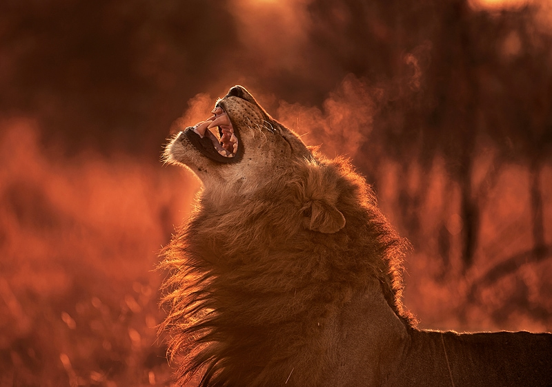 This photo of a lion was taken on an African photographic safari