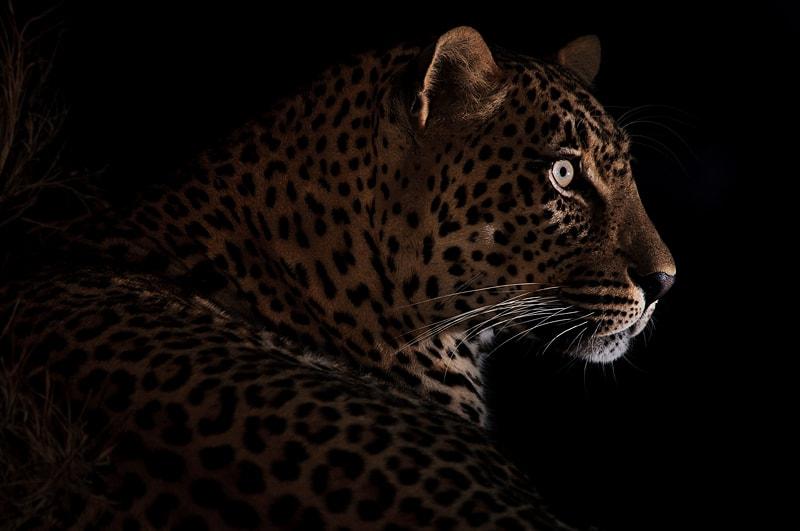 A portrait of a leopard taken on an Africa photo workshop