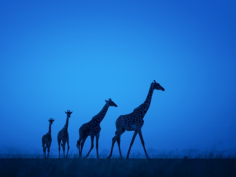 A photograph of giraffe taken in the best country in Africa for a safari