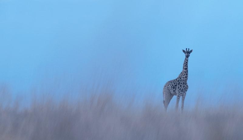 A photo of a giraffe taken on the best African photo safaris