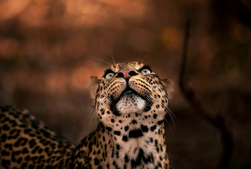 This photo of a leopard was taken on a private photographic safari