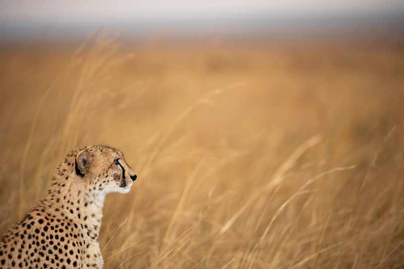 The This cheetah photograph was taken when it is the best time to go on safari