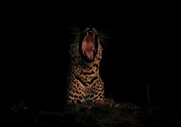big cat photo safari