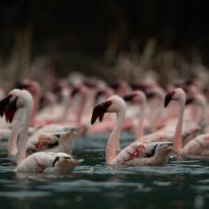 Lake Bagoria flamingo photography