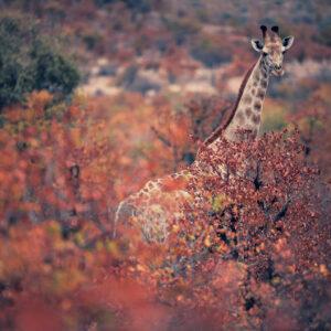 giraffe and fall colours