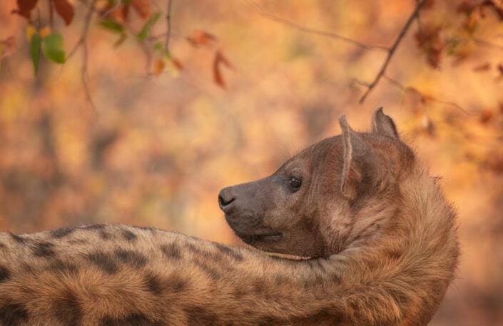 hyena fine art print